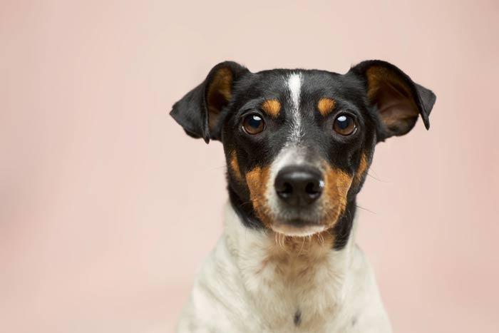 Le museau du chien pour détecter le Covid-19