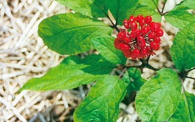 Les plantes adaptogènes, des compléments alimentaires précieux