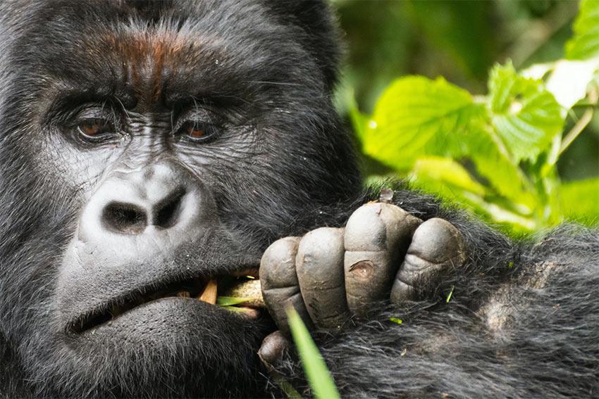 Les gorilles, nos cousins